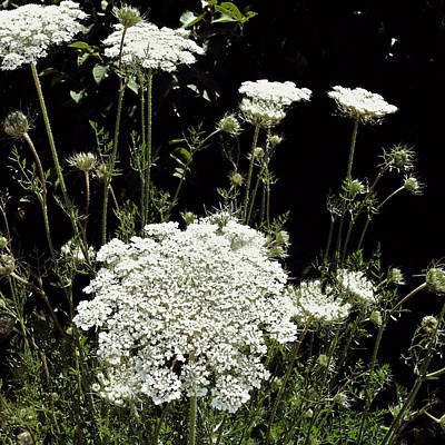 Queen Anne's Lace Poster by Michelle Calkins