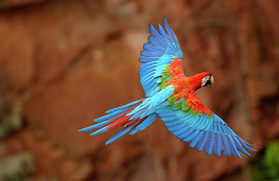 Red And Green Macaw Flying Poster by Pete Oxford