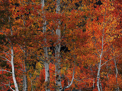 Red Aspens Poster by Leland D Howard