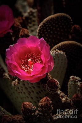 Red Beavertail Cactus Poster by Robert Bales