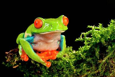 Red Eye Treefrog, Agalychnis Poster by David Northcott