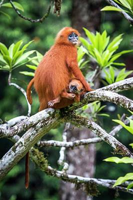 Red Leaf Monkeys Poster by Paul Williams