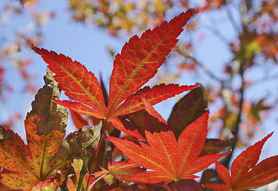 Red Maple Leaves Poster by Mariola Szeliga