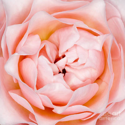 Rose Flower Rosa Sp Poster by Lawrence Lawry