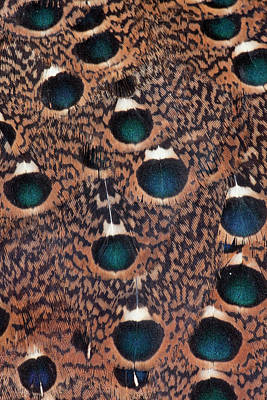 Rothschild Peacock Pheasant Feathers Poster by Darrell Gulin