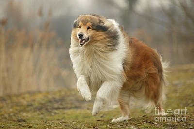 Rough Collie Poster by Jean-Michel Labat