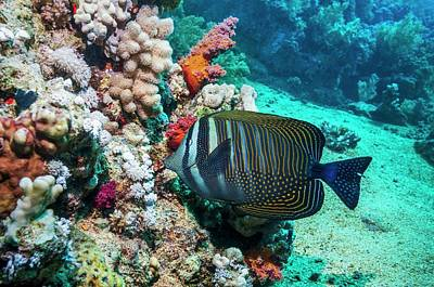 Sailfin Tang Fish Poster by Georgette Douwma