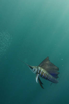 Sailfish (istiophorus Poster by Pete Oxford