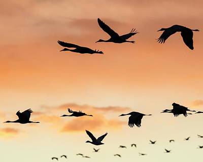 Sandhill Cranes Flying At Sunset Poster by Maresa Pryor