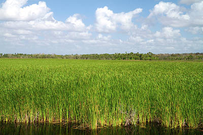 Sawgrass In The Florida Everglades Poster by David R. Frazier