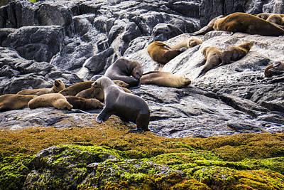 Seals - Montague Island - Australia Poster by Steven Ralser