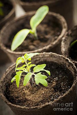 Seedlings  Poster by Elena Elisseeva
