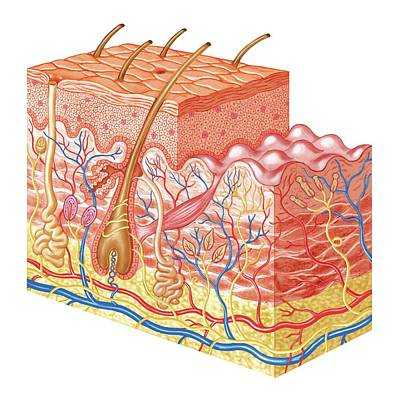 Skin Layers Poster by Asklepios Medical Atlas