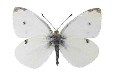 Small White Butterfly Poster by Science Photo Library