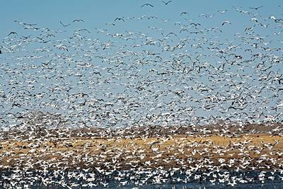 Snow Geese Flock Poster by Jim West