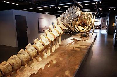 Sperm Whale Skeleton Display Poster by Thomas Fredberg