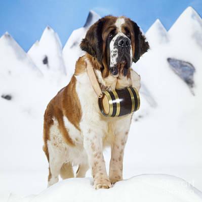 St. Bernard Dog Poster by John Daniels