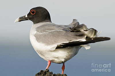 Swallow-tailed Gull Poster by William H. Mullins