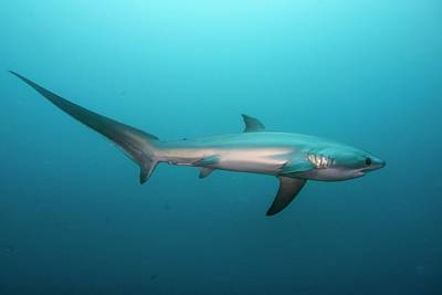 Swimming Thresher Shark Poster by Scubazoo