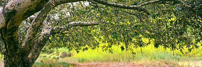 Sycamore Tree In Mustard Field Poster by Panoramic Images