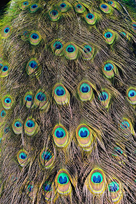 Tail Feathers Of Peacock Poster by George Atsametakis