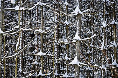 Tree Trunks In Winter Poster by Elena Elisseeva