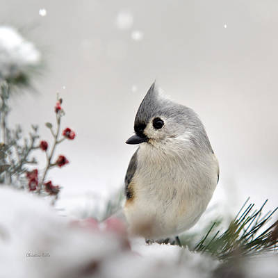 Tufted Titmouse Square Poster by Christina Rollo