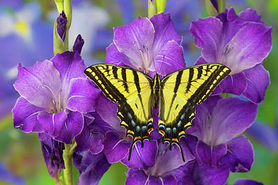 Two-tailed Swallowtail Butterfly Poster by Darrell Gulin