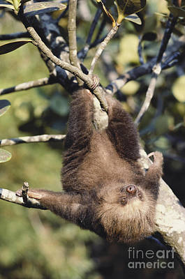 Two-toed Sloth Poster by Gregory G. Dimijian, M.D.