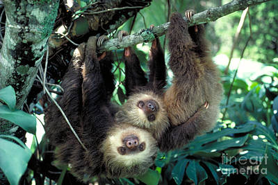 Two-toed Sloths Poster by Gregory G. Dimijian