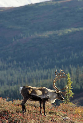 Usa, Alaska, Bull Caribou, Denali Poster by Gerry Reynolds