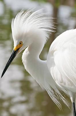 Usa, Florida Snowy Egret (egretta Thula Poster by Michael Defreitas