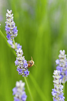 Usa, Wa Cultivated Worldwide Lavender Poster by Trish Drury