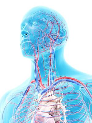 Vascular System In Head Poster by Sciepro