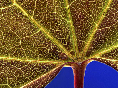 Vine Maple Leaf Close Up Poster by Jean Noren