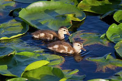 Wa, Juanita Bay Wetland, Mallard Ducks Poster by Jamie and Judy Wild