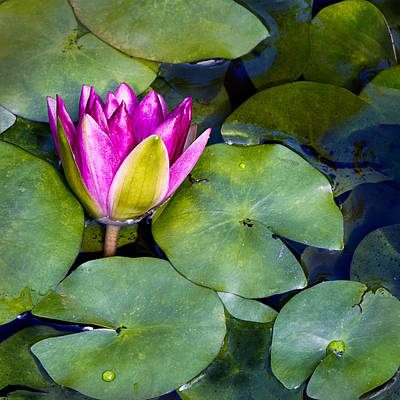 Water Lily Poster by Barbara Smith