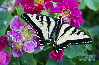 Western Tiger Swallowtail Poster by William H. Mullins