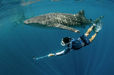 Whale Shark And Tourist Poster by Pete Oxford