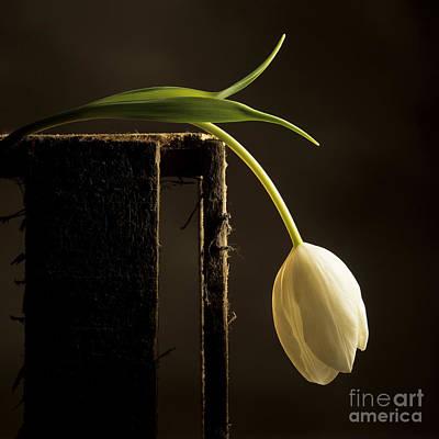 White Tulip Poster by Bernard Jaubert