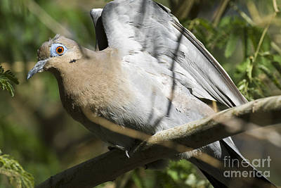 White-winged Dove Poster by William H. Mullins