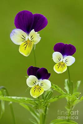 Wild Pansy Viola Tricolor Poster by Bob Gibbons