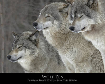 Wolf Zen Poster by Rudy Pohl