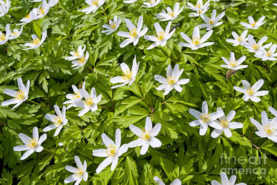 Wood Anemone Poster by Design Windmill