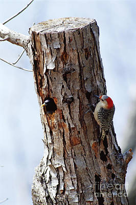 Woodpecker And Starling Fight For Nest Poster by Gregory G. Dimijian