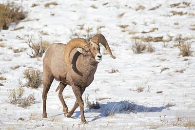 Wyoming, National Elk Refuge, Bighorn Poster by Elizabeth Boehm