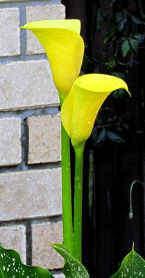 Yellow Lily. Poster by Joyce Woodhouse