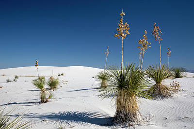 Yucca (yucca Elata) Plants Poster by Jim West