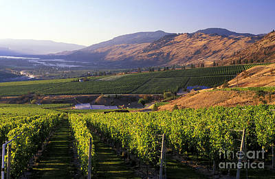 Okanagan Valley Vineyards Poster by Kevin Miller