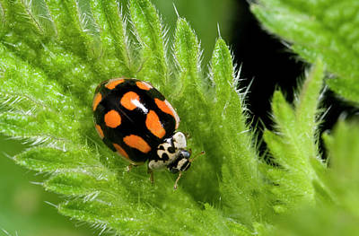 10-spot Ladybird Poster by Nigel Downer
